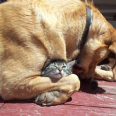 She can't gave pups so adopted litter of Kitties