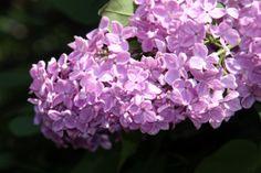 lilas flores