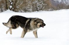 sarplaniac photo | BILLEDSERIE: Her er de 13 forbudte hunderacer | Nyheder | DR