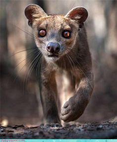 Fossa-The fossa (play /ˈfɒsə/ or /ˈfuːsə/; Malagasy [ˈfusə̥]; Cryptoprocta ferox) is a cat-like, carnivorous mammal that is endemic to Madagascar.