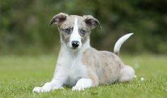 Lurchers are primarily hunting dogs, prized for their stealth and silence. They are calm, affectionate (except around cats or other furry critters), active, and intelligent.