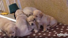 The puppies will be trained as service dogs by students at Bergin University of Canine Studies.
