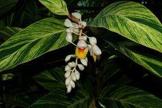Alpinia zerumbet variegated