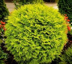 """Golden Globe Dwarf Arborvitae Thuja occidentalis 'Golden Globe' This American arborvitae cultivar is a dwarf, dense, evergreen shrub with a rounded, globular form. Soft yellow, scale-like foliage in flat sprays. Urn-shaped cones to 1/2"""" long mature in autumn to reddish brown. Most often seen as a 2-4 foot high & wide shrub, although it may reach a height of 6' after 70 years. A wonderful foundation plant, specimen or hedge. full sun z-2-8 #LandscapeShrubs"""