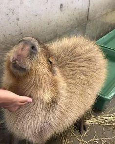 Super Cute Animals, Cute Little Animals, Cute Funny Animals, Cut Animals, Animals And Pets, Beautiful Creatures, Animals Beautiful, Hamsters Video, Capybara