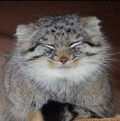 Manul/Pallas Pretty Cats, Beautiful Cats, Animals Beautiful, Cute Animals, Rare Cats, Cats And Kittens, Felis Manul, Neko, Wild Cat Species
