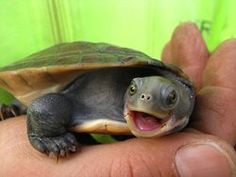 feathered-dream-catcher:    My pet turtle Squirdle!    aw <3