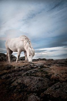 White pony grazing in the crisp breeze. (by Ása Birna Viðarsdóttir)