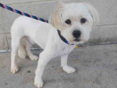 FLUFFY – A1089382 **DOH HOLD – B- 09/11/16*** MALE, WHITE, MALTESE / YORKSHIRE TERR, 1 yr STRAY – STRAY WAIT, HOLD FOR DOH-B Reason BITEPEOPLE Intake condition EXAM REQ Intake Date 09/11/2016, From NY 10457, DueOut Date 09/14/2016,