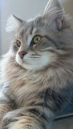 Reminds me of my Tea Animals Of The World, Animals And Pets, Cute Animals, Kittens Cutest, Cats And Kittens, Cute Cats, Neva Masquarade, Kinds Of Cats, Norwegian Forest Cat