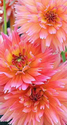 Dahlia, Orange Turmoil by Dina Adornetto on 500px