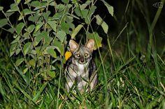 Trabalho de campo sobre mamíferos do cerrado. O filhote de Flávia, flagrado saindo da toca.
