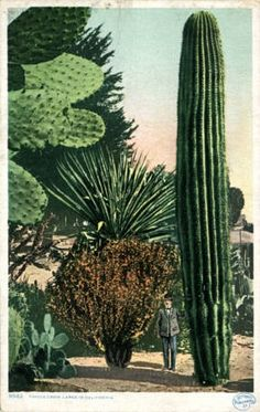 'California - Things Grow Large in California' postcard printed by Detroit Photographic Co. via Lake County Discovery Museum, Illinois Digital Archives Cacti And Succulents, Planting Succulents, Cactus Plants, Cactus Decor, Cactus Art, Cactus Flower, Garden Cactus, Garden Plants, Garden Art