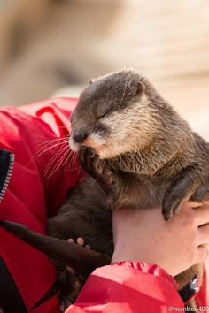 Omg i want to cuddle this otter