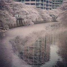 Scattered petals of cherry blossoms flowing through Meguro River, Tokyo.