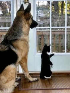 "* * TUX CAT: ""Dat's de bruiser across de street, Shep. Goes gives him a paw-knuckle sandwich!"""