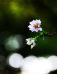 十月桜 #sakura #CherryBlossom