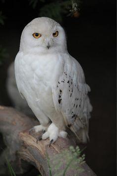 Owl Photos, Owl Pictures, Owl Bird, Pet Birds, Beautiful Birds, Animals Beautiful, Animal Dictionary, Animals And Pets, Cute Animals