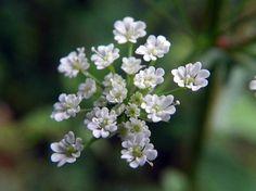 Chervil (Chaerophyllum temulum)