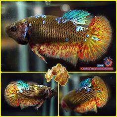 RARE-Live-Betta-Fish-Female-TURQUOISE-VANDA-Halfmoon-Plakat-1373