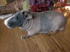 Hairless guinea pigs look like miniature hippos