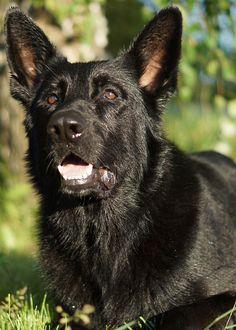 Black german shepherd Jack