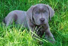 A Silver Lab....Eddie might eventually need this pup if he gets to start hunting again ....