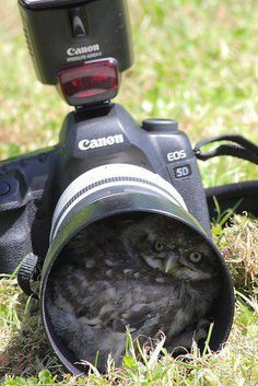 The hazards of wildlife photography - a burrowing owl decides your camera looks like a good place to call home.