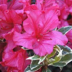 Rhododendron 'The Robe' Azalea   Pender Nursery
