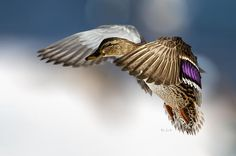Flight of the Mallard - Original fine art nature bird photography by Bob Orsillo.  Copyright (c)Bob Orsillo / http://orsillo.com - All Rights Reserved.  Buy art online.  Buy photography online  Female Mallard Duck In Flight