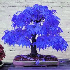 10pcs Rare Blue Maple Seeds Maple Seeds Bonsai Tree Plants Garden Home Decor | eBay
