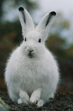✭ Arctic Hare