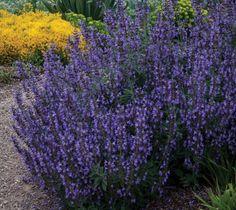 Salvia fruticosa 'Greek Skies' | Lambley Nursery, Small Shrubs, Trees And Shrubs, Salvia, Greek, Bulb, Nursery, Sky, Landscape, Counting