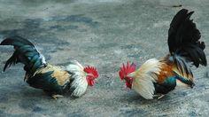 Resultado de imagen para foto de gallos de pelea