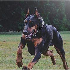 Soy miembro de una raza canina fuera de lo común. Soy el famoso Dobermann. Soy de la raza de perros mas fieles y tiernos del humano. De mi amo, de los niños de mi amo y de los niños de los niños de mi amo SOY EL FIEL AMIGO, COMPAÑERO Y PROTECTOR.  Les doy un consejo: No quieran molestar o agredir a uno de los míos, por ahí es cuando me transformo y llego a dar la vida por ellos, aunque el agresor quede hecho pedazos.