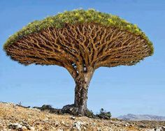 The Dragon Blood Tree, is a Dragon Tree native to the Socotra archipelago in the Indian Ocean. It is so called due to the red sap that the trees produce.