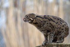 Fishing cat on a stump