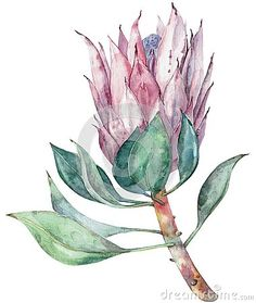 Illustration about Hand painted floral object. Watercolor botanical illustration of protea flower. Natural element close up isolated on white background. Illustration of decorative, invitation, green - 147548611 Botanical Art, Botanical Illustration, Watercolor Illustration, Watercolour Painting, Watercolor Flowers, Protea Art, Protea Flower, Flower Paintings, Oil Paintings