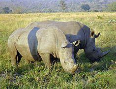 Neushoorns - Wikipedia