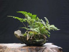 Fern kusamono - Forums Parlons Bonsai