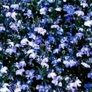 Click image to add to your lists and to get care advice from Shoot. Other names: Trailing lobelia 'Regatta Sky Blue' Genus: Lobelia Variety or cultivar: 'Regatta Sky Blue' _ 'Regatta Sky Blue' is Window Box Plants, Window Boxes, Drawing Wallpaper, Flower Wallpaper, Flower Shop Interiors, Curved Patio, Dark Blue Flowers, Still Life Art, Garden Fencing