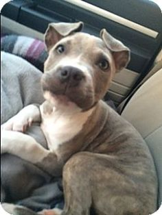 Rancho Cucamonga, CA - Pit Bull Terrier Mix. Meet REINA, a puppy for adoption. http://www.adoptapet.com/pet/14745366-rancho-cucamonga-california-pit-bull-terrier-mix