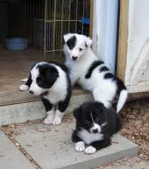 Google Image Result for http://img.decoration-house.com/medium/4/border%2520collie%2520puppies.jpg Collie Puppies