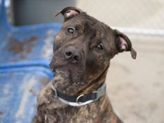 SAFE - 06/21/15 - #A1038491 - Major - Brooklyn - TO BE DESTROYED 06/21/15 - MALE BL BRINDLE,PIT BULL MIX, 3 Yrs. STRAY ON 06/0215 - OWNER ARREST