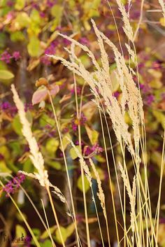 Calamagrostis x acutiflora 'Karl Foerster' with the purple berries from the Callicarpa Beauty bush in the background