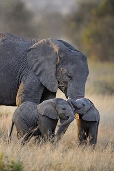 Mother Elephant with twins, East Africa.