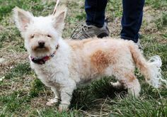 """Meet Lola, a Petfinder adoptable West Highland White Terrier Westie Dog 