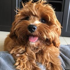 A big smile for the weekend!  #dapperdawg #cavoodlesofaustralia #cavoodlesofperth #cavoodlepuppy #cavoodlepuppy #oodlesofperth #oodlesofinstagram #cavoodlesofinstagram #oodlesofinstagram #pawfectpuppies #pawfectpuppy #pawpack #puppy #cavoodle #dogsofaustralia #dogsofperth #dogsofinstagram #dogsofaustralia #perthpooches #lacyandpaws #dogsofinstaworld #petsofinstaworld #cute #pet #winstontappington by winston.tappington