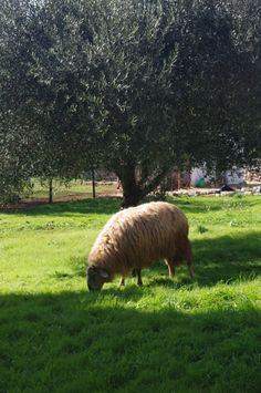 One of Rustic Puglia's sheep grazing in front of our olive trees