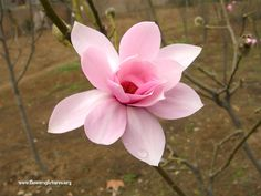 Magnolia+Flower | Beautiful pink magnolia picture, Photo #1028, Image size: 800 x 600